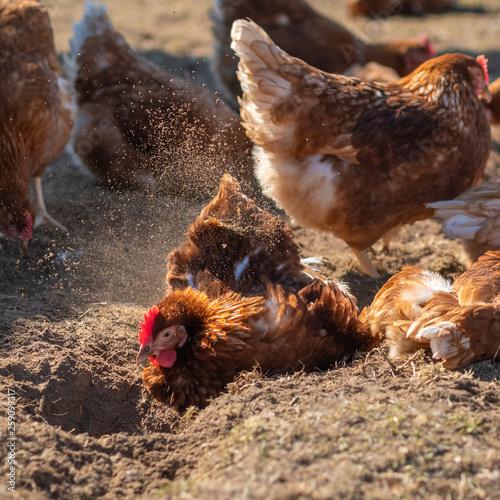Foto auf Leinwand Indien Hühner-Glück: Geflügel beim Sandbaden in artgerechter Haltung