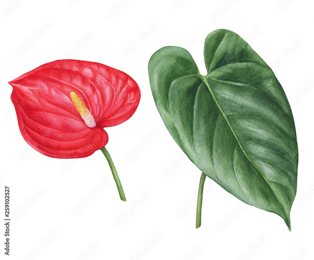 Fototapety, obrazy: Watercolor hand-drawn illustration of anthurium flower and leaf