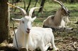 White goat with big horns lying on grass on bio ecological farm.
