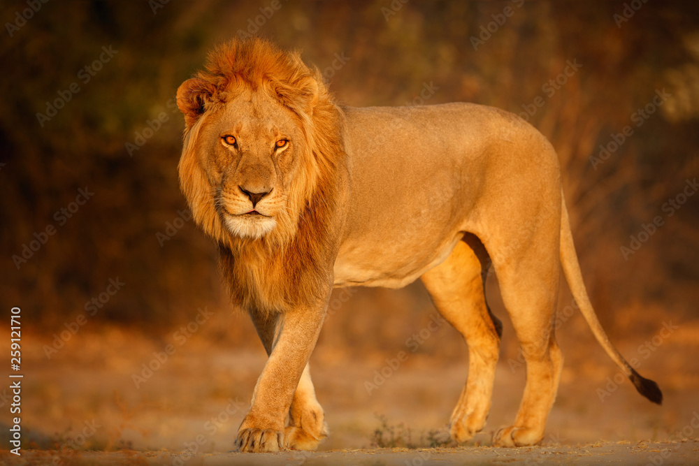 Fototapeta Beautiful lion male portrait in amazing evening light. Wild animal in the nature habitat. African wildlife. This is Africa. Lions leader. Panthera leo.