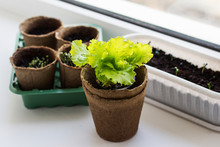 Green Lettuce In A Pot On The Windowsill