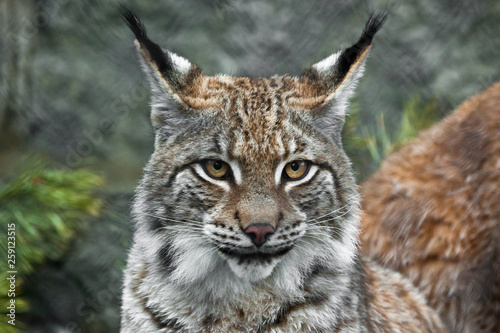 a beautiful face of a lynx with clear eyes and a look at you; close-up; a beautiful big cat is looking at you.