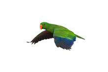 Electus Parrot Flying Isolated On White Background, Male