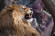 The lion roars. a big lion with a beautiful lush mane growls overlooking the wide red mouth with fangs, close-up