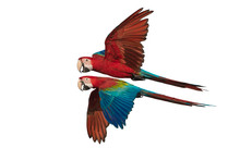 Green Winged Macaw Flying Isol...