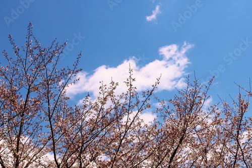 Poster Light pink 風景 桜 空 春 茨城