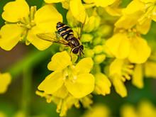 Macro Hoverfly Feeding From Wi...