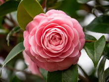 Pink Camellia Flower Blooming In Early Spring