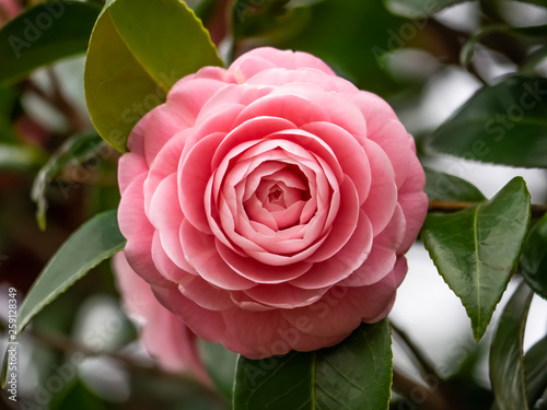 Vászonkép pink camellia flower blooming in early spring