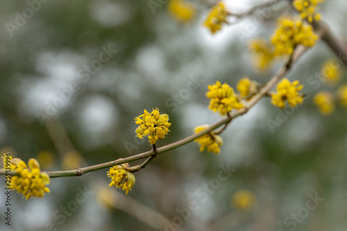 Lyric twig with yellow flowers on grey blurred with bokeh background Tablou Canvas