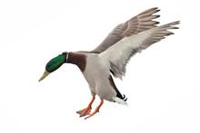 Green Head Mallard Duck Drake On White In Flight