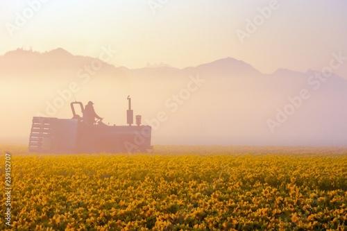 Obraz na plátně Silhouette of a farmer on a tractor near daffodil fields on a foggy morning