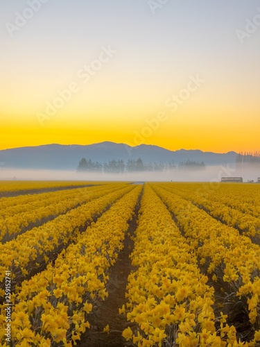 Fotografie, Obraz Foggy morning in the daffodil fields in the pacific northwest