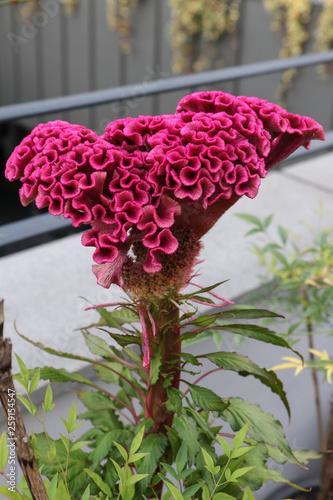 Fototapeta Celosia, cockscomb flower