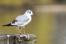 Isolated Black-headed Gull On A Wall At A Pond