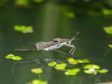 Water Strider, Water Skeeter, ...