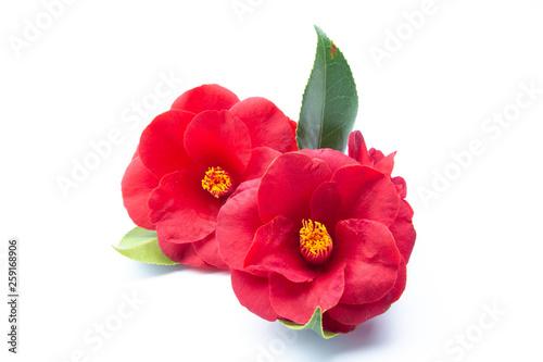 Canvas Camelia Roja