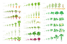 Vegetables Agricultural Plant, Growth Big Set Animation. Vector Infographics Showing The Progression Growing Plants. Growth Stages Planting. Carrots Celery Cabbage Potatoes And Many Other.