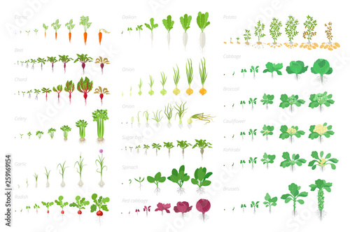 Vegetables agricultural plant, growth big set animation. Vector infographics showing the progression growing plants. Growth stages planting. Carrots celery cabbage potatoes and many other. - fototapety na wymiar