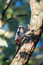 Woodpecker On The Trunk Of A T...