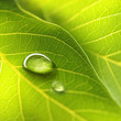 canvas print picture - Drop of dew in morning glow in sun. Large beautiful drop of transparent rain water on green leaf macro. Beautiful leaf texture in nature. Natural background.