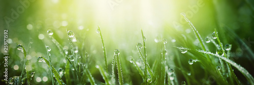 Obraz Juicy lush green grass on meadow with drops of water dew in morning light in spring summer outdoors close-up macro, panorama. Beautiful artistic image of purity and freshness of nature, copy space. - fototapety do salonu