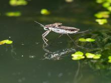 Water Strider, Water Skeeter, Water Bug, Pond Skater, Water Skipper,  Jesus Bug