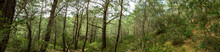Dense Pine Forest On A Mountai...