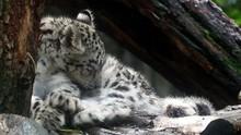 Baby Snow Leopard (Panthera Un...