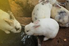 Little White Rabbit Drink Water