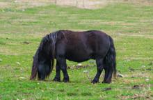 Black Male Shetland Pony Grazi...