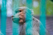 Portrait Of A Sad Monkey Looking Through The Bars Of The Cage In A Zoo. Concept Of Animal Rights, Captivity , Unhappiness And Misery. Picture Of A Baboon.