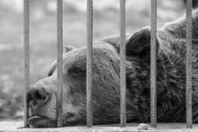 Sad Captive Brown Bear In A Zo...