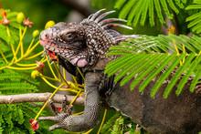 Green Iguana On St. Thomas, US Virgin Islands