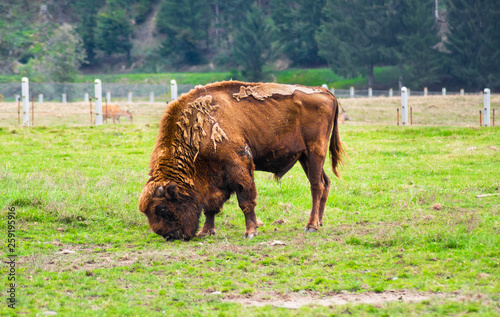 Fényképezés  Old and wounded European Bison grazing in an animal sanctuary