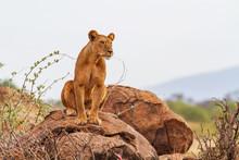 Lioness Lion Panthera Leo Sitt...