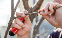 Grafting Trees In Spring. Gard...