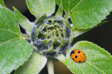 Seven Spot Ladybird On Sunflower Plant