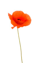 Close Up Of Common Poppy Against White Background