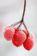 Close Up Of Frosted Guelder Rose Berry