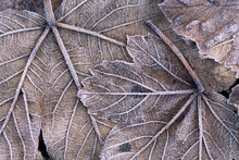 Close Up Of Frosted Sycamore Leaf