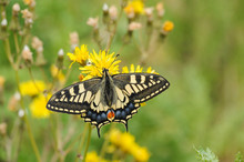 Swallowtail Butterfly Pollinating Flower