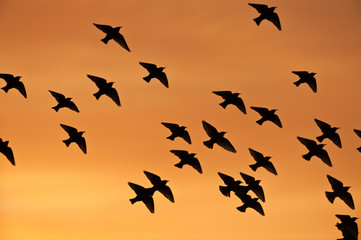 Flock of common starlings f...