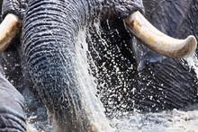 African Elephant Splashing Water In Kruger National Park
