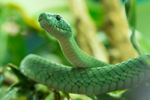 Close Up Of Eastern Green Mamba