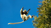 Coquerel's Sifaka Lemur Jumping Between Trees Against Blue Sky