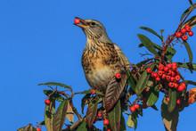 Fieldfare Bird Eating Cotoneas...