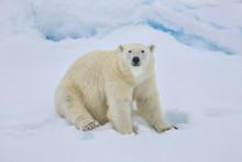Portrait Of Polar Bear Sitting...