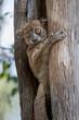 Daraina sportive†lemur resting in tree trunk