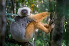 Portrait Of Diademed Sifaka Lemur In Andasibe Mantadia National Park